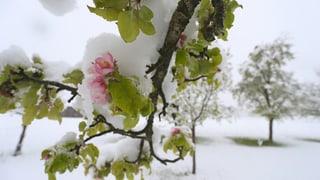 Grosse Schäden nach Jahrhunderfrost im Baselbiet