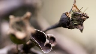 Bauern hoffen nach Streptomycin-Verbot auf wenig Feuerbrand