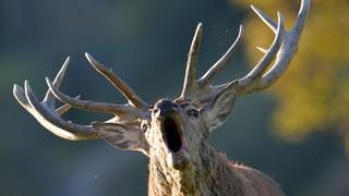 Luzern bläst zur Jagd auf Hirsche