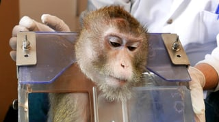 Zürcher Hochschulen dürfen mit Affen Psychosen erforschen