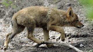 Walliser Behörden wollen Jungwolf abschiessen