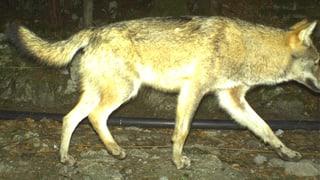 Urner Wolf ist tot