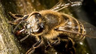 Bienen sind weltweit Insektengift ausgesetzt