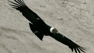 «De Kondor» (Artikel enthält Audio)