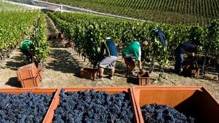 Walliser Regierung will keine schwarzen Schafe in der Weinbranche