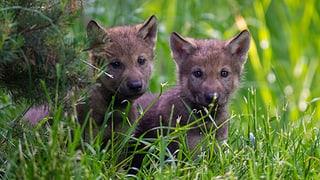 Junge Wölfe im Berner Tierpark