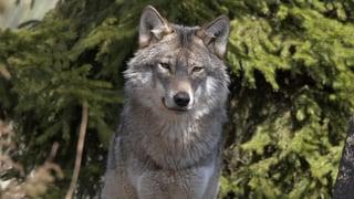 Wolf reisst sieben Schafe auf drei Werdenberger Alpen
