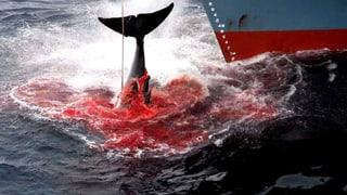 Japan will wieder Wale in der Antarktis fangen