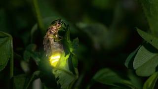 Das Glühwürmchen soll die Lage der Insekten in den Fokus rücken