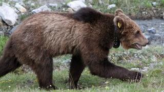 L'urs en Val Müstair è sa dasdà ord la sien d'enviern