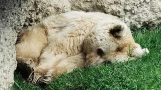 Die älteste Braunbärin der Schweiz ist tot