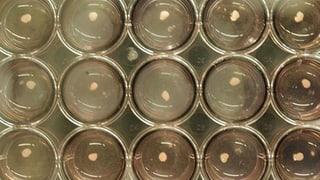 Mini-Lebern aus menschlichen Stammzellen