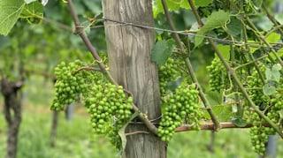 L'istorgia dal vin en Grischun – Emprimas vits a Sagogn