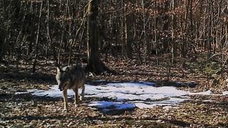 Wolf erstmals im Aargau fotografiert