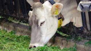Tote Rinder auf Bauernhof: Kanton hat nichts versäumt