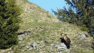 Urs è da viadi en l'Engiadina Bassa -  il luf en Val Müstair