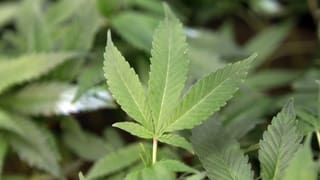 Cannabis aus der Apotheke – grünes Licht für Pilotprojekt