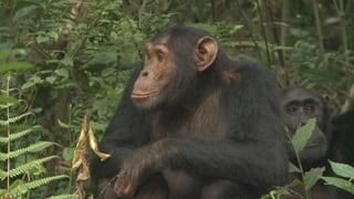 Video ««Einstein»-Spezial: Bei den Affen» abspielen