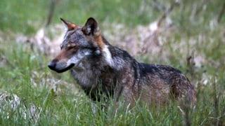 Walliser Wolf wird nicht abgeschossen