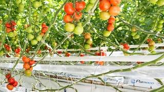 Schweizer Tomaten, die nie Erde gesehen haben