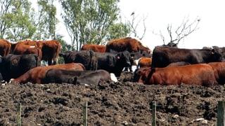 In so genannten Feedlots bekommen Mastrinder in Übersee statt Weidegras vor allem Getreide. Das ist nicht artgerecht.