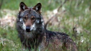 «Es werden weitere Wolfsrudel entstehen»
