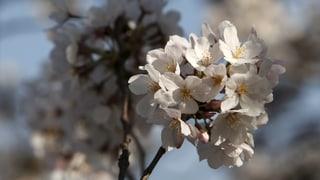Cherry blossoms statt Kirschblüten