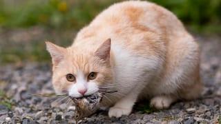 Pro Natura-Politiker fordert: Streunende Katzen abschiessen!