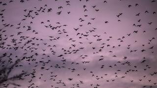 Kaiseraugst will Krähen mit einem Greifvogel verjagen
