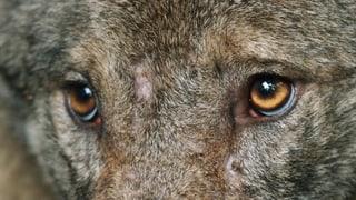 Schweiz hat Platz für 17 Wolfsrudel