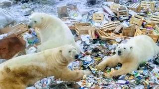 Eisbären machen russische Arktis-Insel unsicher