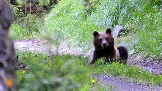 Puspè vesì urs en la Val Müstair
