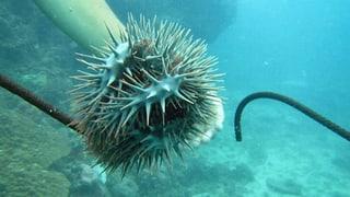 Wie Heuschrecken unter Wasser