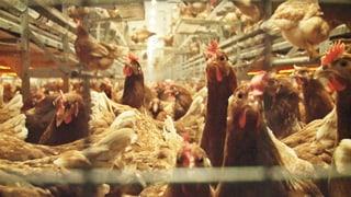 Importeier zu Ostern: So schockierend ist die Tierhaltung