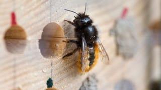 Wildbienen-Hotels: Nicht jedes eignet sich wirklich als Herberge