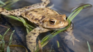 «Ohne Amphibiensperre lägen hunderte tote Tiere auf der Strasse»