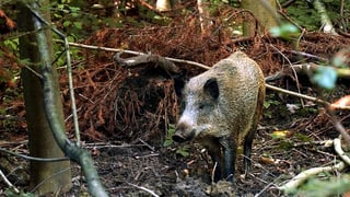 Solothurner Jäger sollen künftig weniger Wildsau-Schäden zahlen