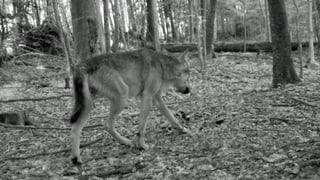 Zum zweiten Mal ein Wolf in Zürich