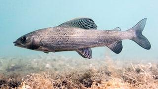 Fisch des Jahres: Ein sensibler Schönling