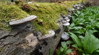 Kanton Bern will Urwaldflächen einkaufen