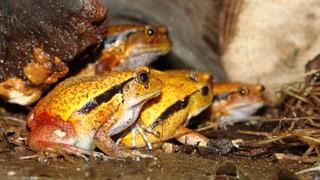 Tomatenfrösche, Makis, Schildkröten – Tiere in der Masoala-Halle