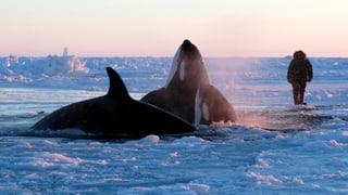 Happy End im Drama um die Schwertwale