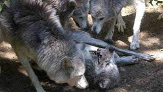 Nun gibt es auch im Wallis ein Wolfsrudel
