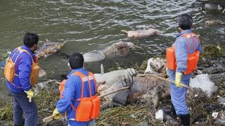 Shanghai-River: Strom der 14'000 toten Schweine