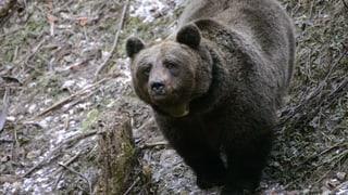 «Der Mensch ist das Problem, nicht der Bär»