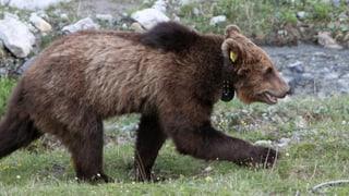 Bären: Prävention noch nicht fit