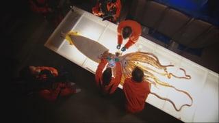 Video «Tiere unter dem Messer: Im Innern des Tiefsee-Kalmars» abspielen