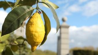 Die Schweiz: Das Land, wo dereinst die Zitronen blühn?