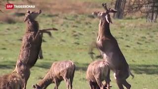 «Wir müssen Bambi töten»