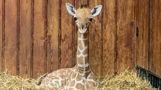 Giraffengeburt im Basler «Zolli» von Tierpflegern gefilmt